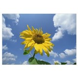 Common Sunflower with blue sky and clouds behind
