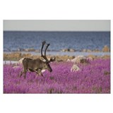Caribou male in a field of fireweed, Hudson Bay, C