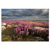 Fireweed covered island, Hudson Bay, Canada