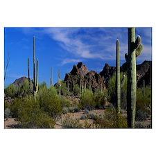 Saguaro cactus Sonoran Desert Scene Saguaro Nation
