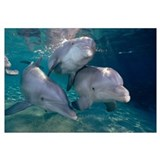 Bottlenose Dolphin trio underwater, Waikoloa Hyatt