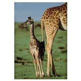 Giraffe (Giraffa camelopardalis) mother with young