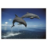 Bottlenose Dolphin (Tursiops truncatus) pair, Cari