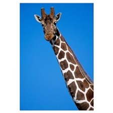 Reticulated Giraffe close up, Africa