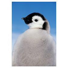 Emperor Penguin (Aptenodytes forsteri) portrait of