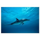 Atlantic Spotted Dolphin underwater portrait, Baha