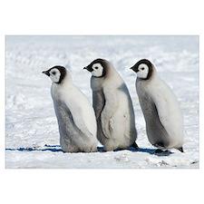 Emperor Penguin (Aptenodytes forsteri) chicks walk