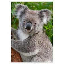 Koala (Phascolarctos cinereus), Australia