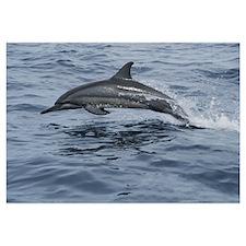 Spinner Dolphin porpoising through water, Bahamas