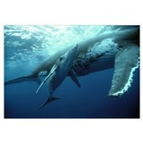 Humpback Whale (Megaptera novaeangliae) mother and