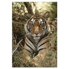 Bengal Tiger portrait, Ranthambore National Park,