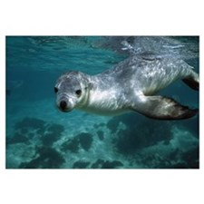 Australian Sea Lion underwater portrait, South Aus