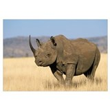 Black Rhinoceros (Diceros bicornis) Africa