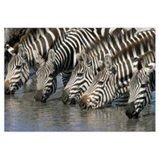 Burchell''s Zebra (Equus burchellii) group drinkin