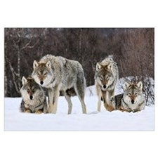 Gray Wolf (Canis lupus) group, Norway