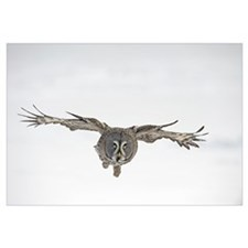 Great Grey Owl (Strix nebulosa) flying, Finland