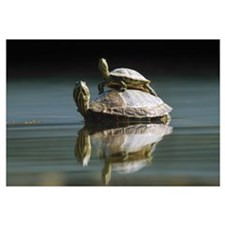Red-eared Slider turtle, pair in pond, City Park,