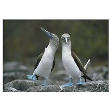 Blue-footed Booby pair performing courtship dance,
