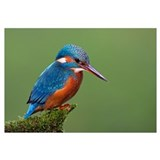 Common Kingfisher (Alcedo atthis), Hessen, Germany