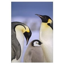 Emperor Penguin pair with chick, Atka Bay, Weddell