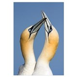 Northern Gannet (Morus bassanus) pair courting, Sa
