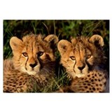 Cheetah (Acinonyx jubatus) two cubs, Masai Mara, K
