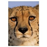 Cheetah close up of face showing ''tear mark'' pat