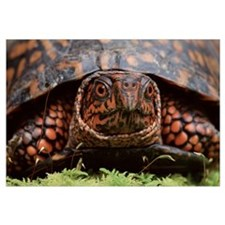 Eastern Box Turtle (Terrapene carolina carolina) h