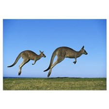 Eastern Grey Kangaroo two adults hopping, Murramar