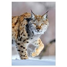 Eurasian Lynx (Lynx lynx) walking through the snow