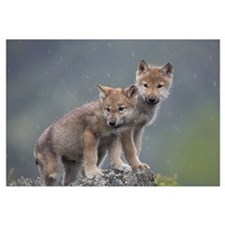 Gray Wolf (Canis lupus) pups in light snowfall, No