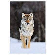 Gray Wolf (Canis lupus) standing in the snow, Norw