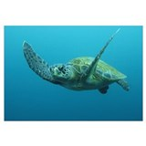 Green Sea Turtle (Chelonia mydas) swimming, Galapa