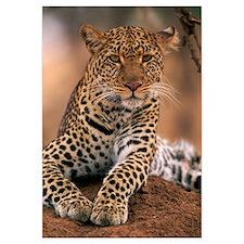 Leopard (Panthera pardus) Masai Mara Game Reserve,