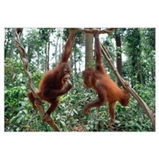 Orangutan (Pongo pygmaeus) pair playing in trees,