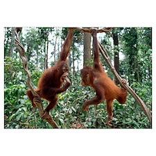 Orangutan (Pongo pygmaeus) pair playing in trees,