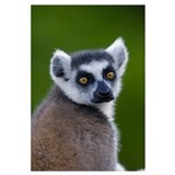 Ring-tailed Lemur n the Andringitra Mountains, sou