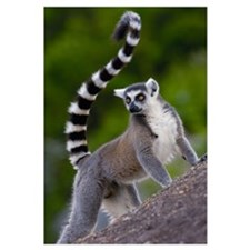 Ring-tailed Lemur on rocks in the Andringitra Moun