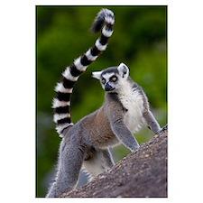 Ring-tailed Lemur on rocks in the Andringitra Moun