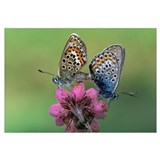 Silver-studded Blue butterfly pair mating on flowe