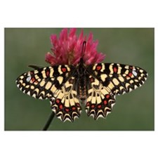 Spanish Festoon butterfly on flowering clover, Eur