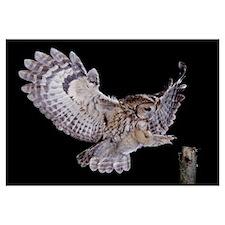 Tawny Owl (Strix aluco) landing, England