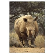 White Rhinoceros female, Lewa Wildlife Conservancy