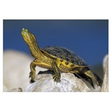 Yellow-bellied Slider turtle, portrait, on rock, N