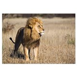 African Lion (Panthera leo) male, Khutse Game Rese