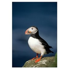 Atlantic Puffin (Fratercula arctica) adult on rock