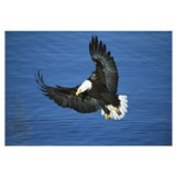 Bald Eagle flying over water, Kenai Peninsula, Ala