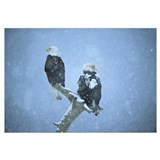 Bald Eagles perched on snag in snow, Kenai Peninsu