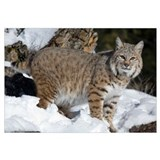 Bobcat (Lynx rufus) in the snow, Kalispell, Montan