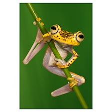Chachi Tree Frog (Hypsiboas picturatus), northwest